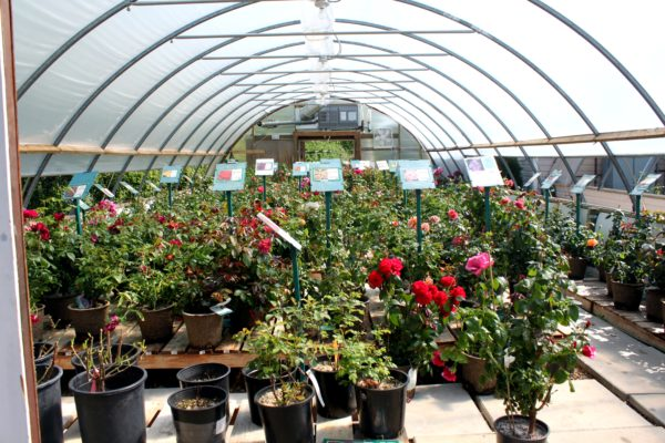 Mother's Day Roses in our Greenhouse
