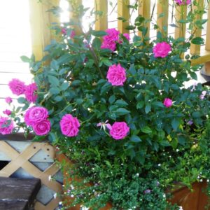 Rose 'Winsome' by Gazebo