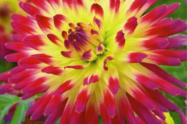 Time to Plant Dahlias for May sales