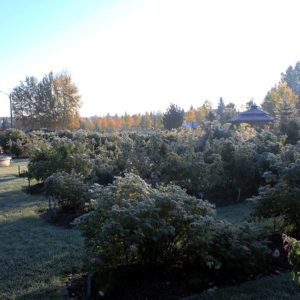 Frost in the Rose Garden