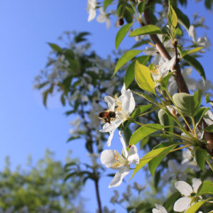 A busy bee in Crabapple Lane