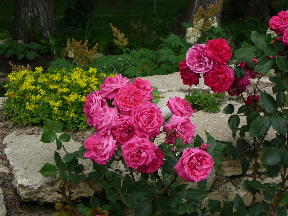Roses In Garden: Richard Plain Rose Garden