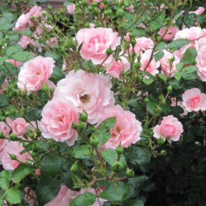 Pink Shrub Rose