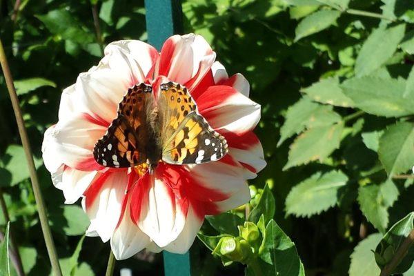 Butterflies in fall