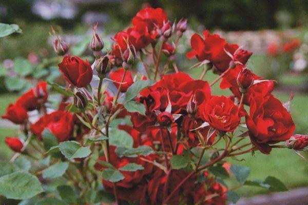 Hardy Canadian Rose