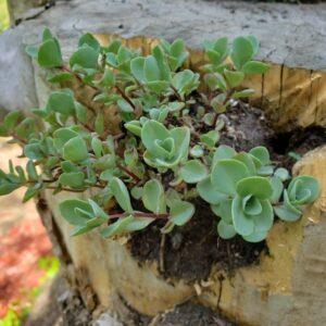Sedum in a Stump Garden