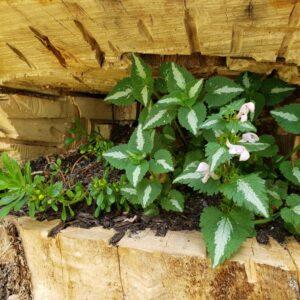Stump Garden with Lamium